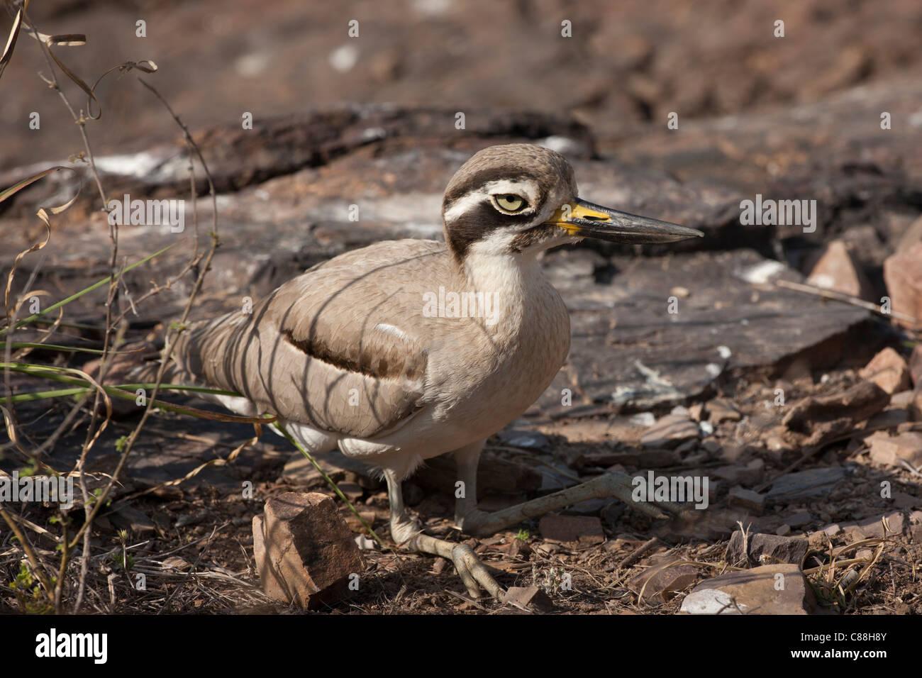 Indian Stone Plover bird, Burhinus oedicnemus indicus, in Ranthambhore National Park, Rajasthan, Northern India - Stock Image