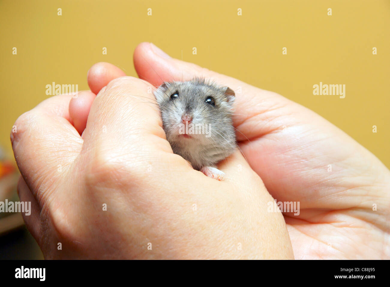 How to care for the Jungar hamster 62