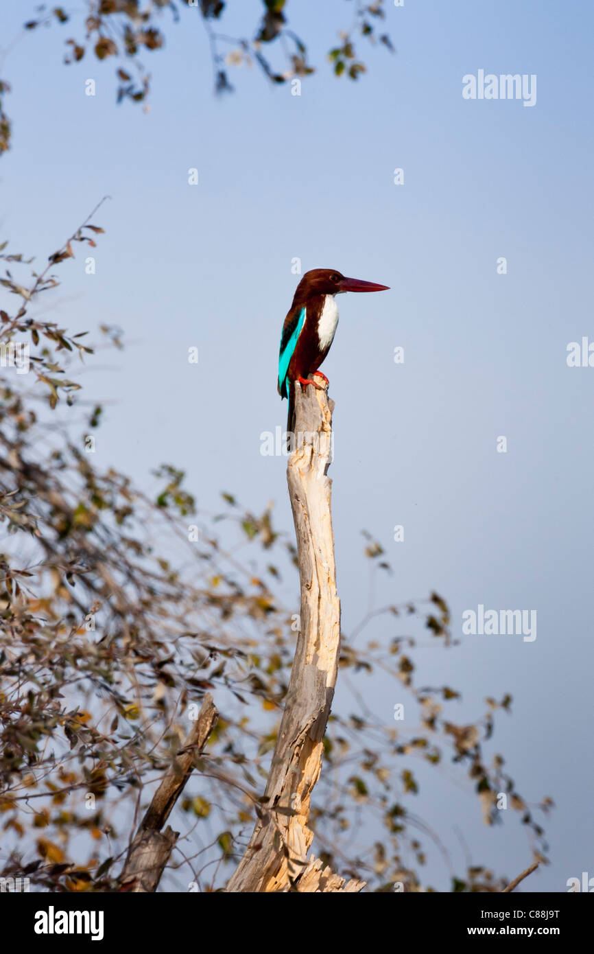 White-Breasted Kingfisher bird, Halcyon smyrnensis, in Ranthambhore National Park, Rajasthan, Northern India - Stock Image