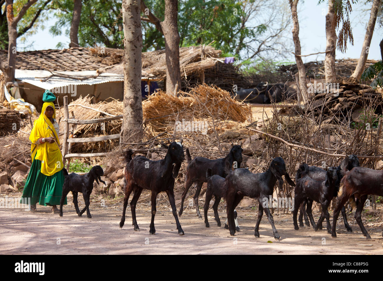 Indian woman with herd of goats at farm smallholding at kutalpura village in rajasthan northern