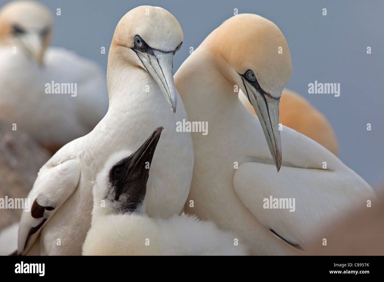 Two adult Gannets and chick - Stock Image