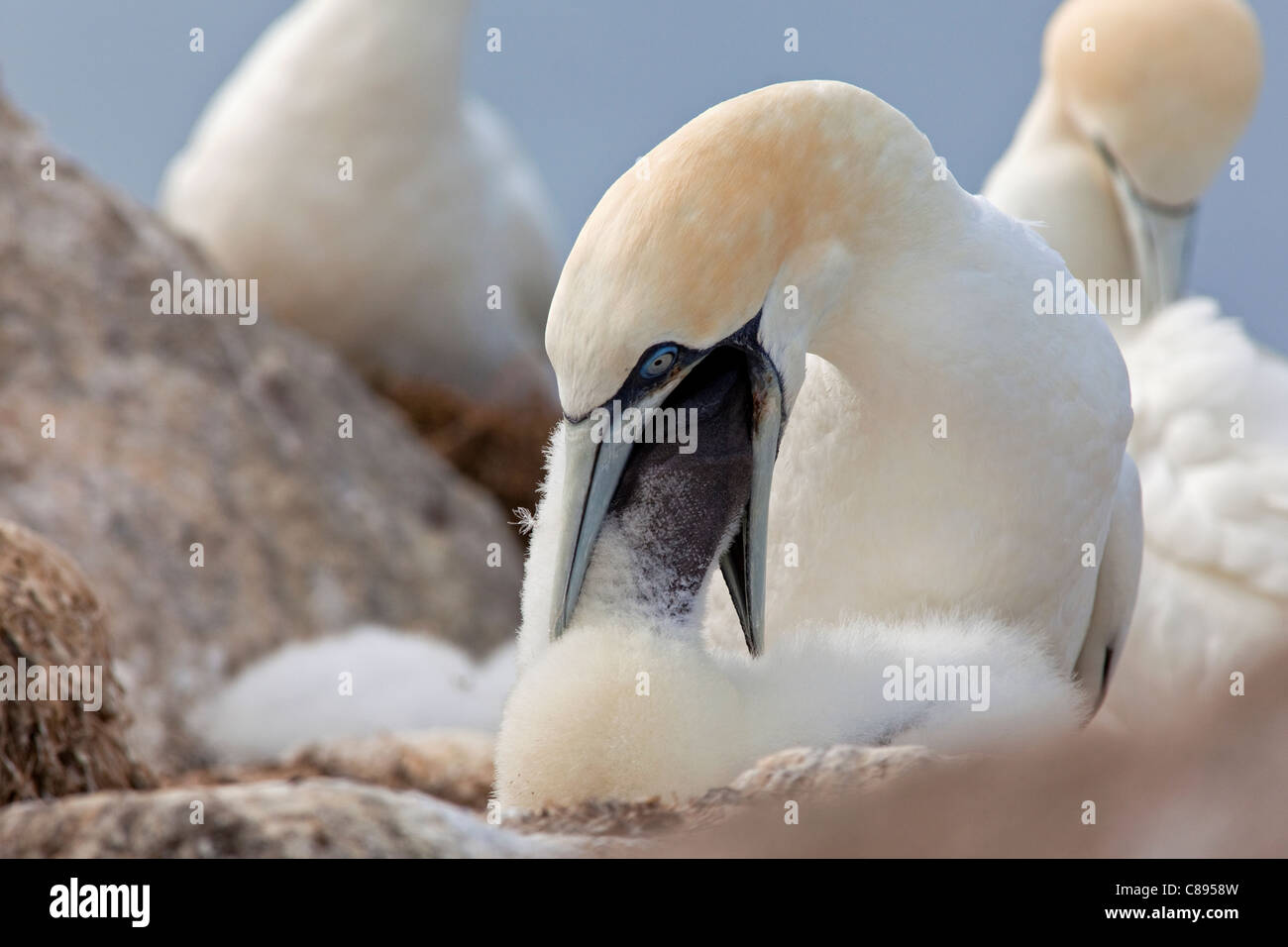 Gannet, adult feeding chick - Stock Image
