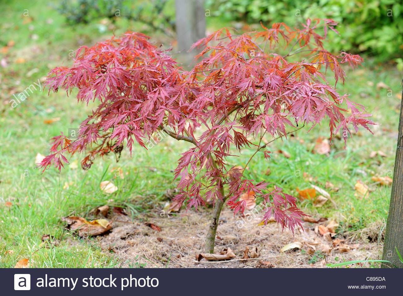Acer Palmatum Dissectum Crimson King Stock Photo 39539846 Alamy