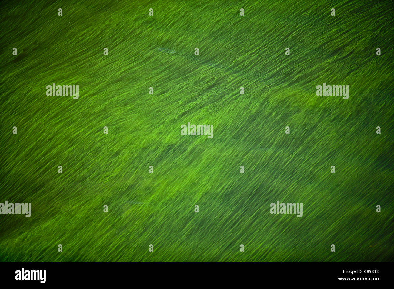 Cyanobacteria or 'blue-green' algae blown by the wind at the surface of a river, in the Summer (Puy-de-Dôme - Stock Image