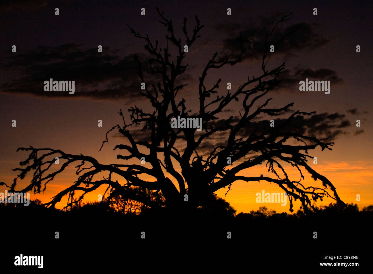 Spooky dead tree silhouetting against sunset. - Stock Image