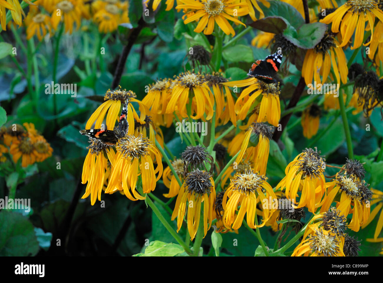 Views of the gardens flowers with Butterflies. - Stock Image