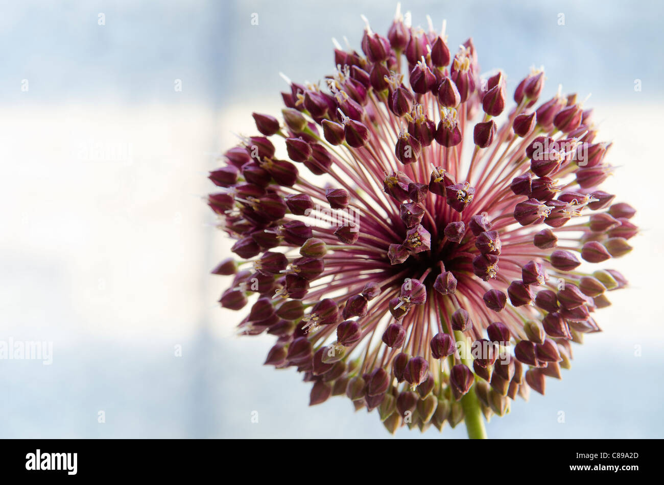 wild flower from Cirsium arvense family magenta with  light blue  background - Stock Image