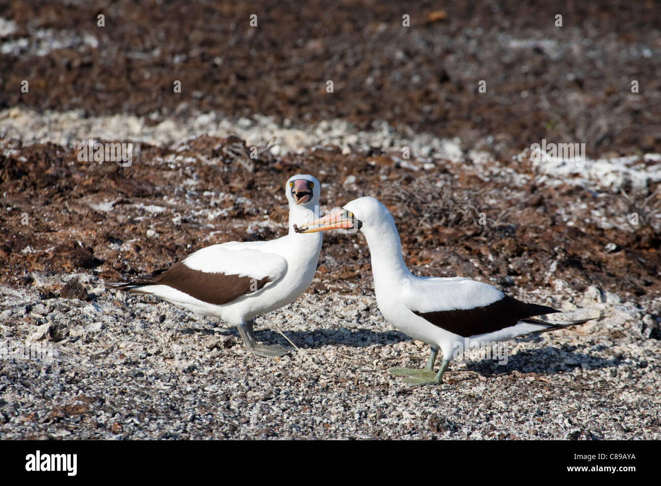 Nazca Booby (Sula granti) male presenting twig to female for the nest during courtship - Stock Image