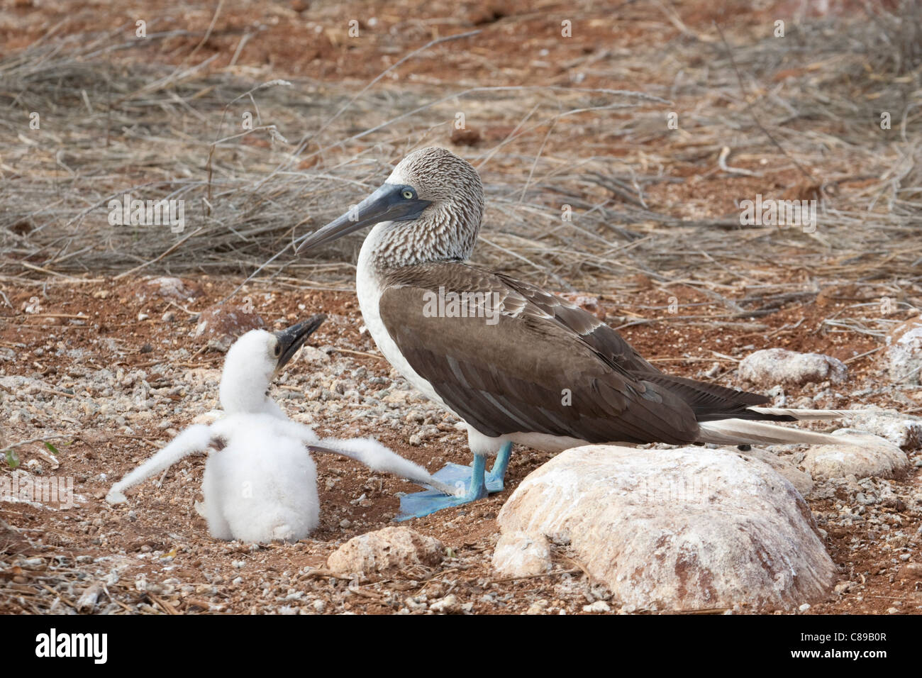Blue-footed Booby (Sula nebouxii) chick begging to be fed - Stock Image