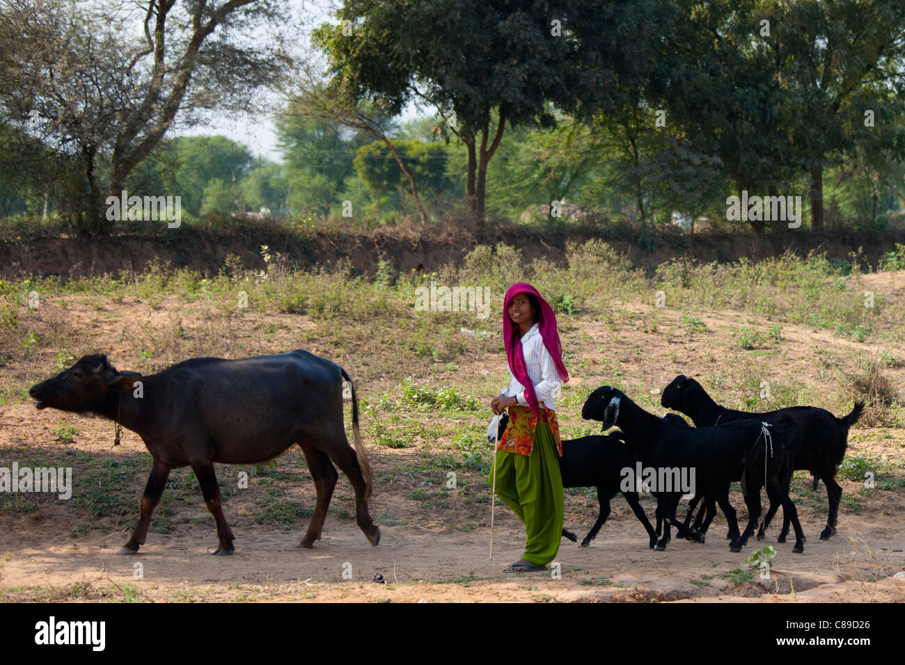Indian woman with herd of goats at sawai madhopur in rajasthan northern india stock