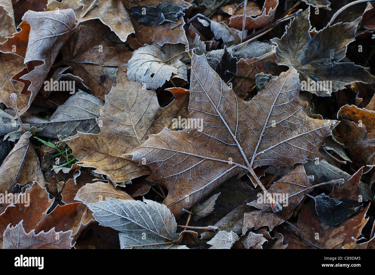 Germany, Bavaria, Close up of frosted leaves - Stock Image