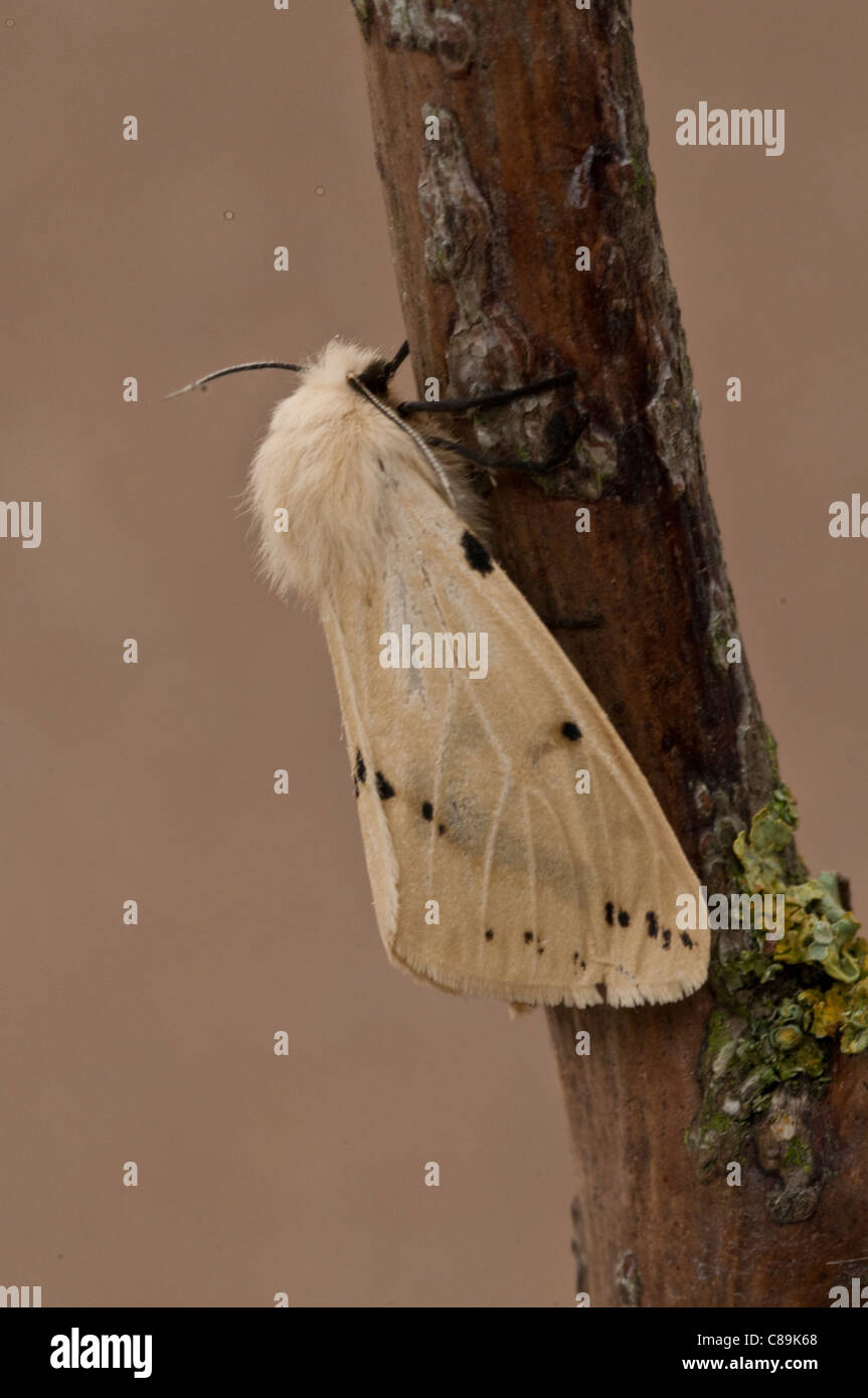 Buff Ermine Spilosoma luteum. Fawn coloured Moth with black spots. - Stock Image