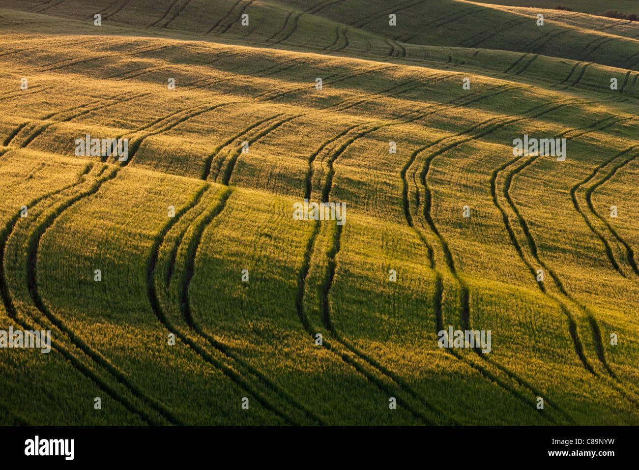 Italy, Tuscany, Crete, View of tire tracks in cornfield - Stock Image