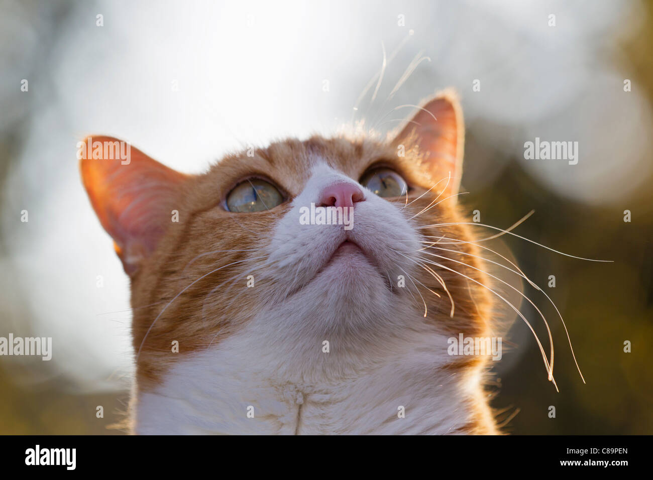 Germany, Bavaria, Close up of ginger and white colour European Shorthair cat - Stock Image