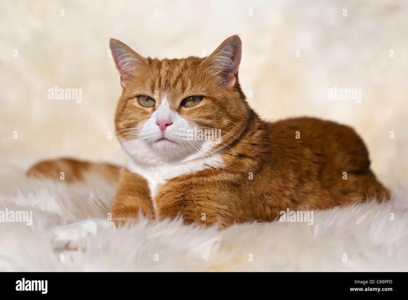 Ginger White Cat Stock Photos Amp Ginger White Cat Stock