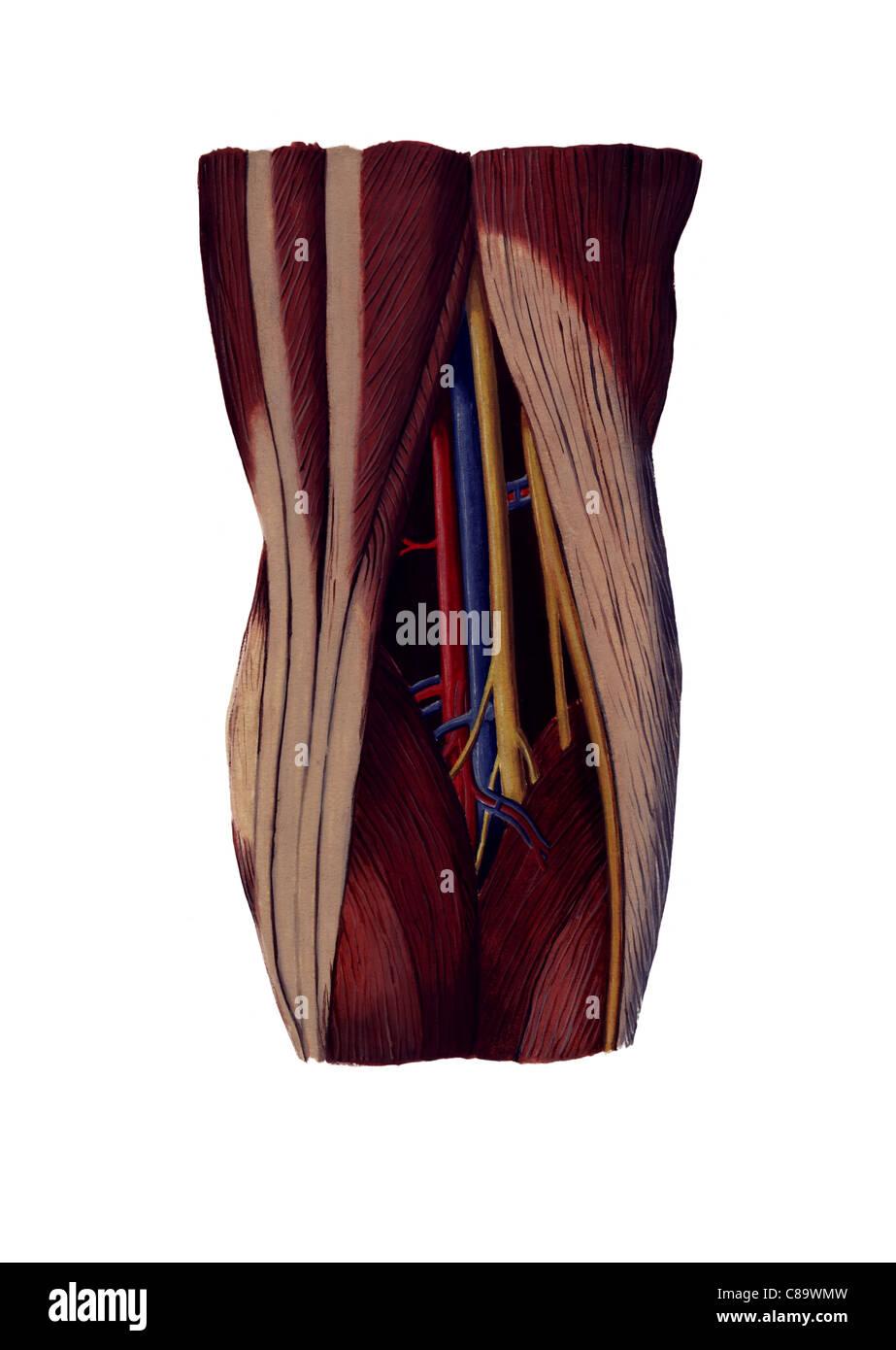 Popliteal Fossa Back Of The Knee Joint Illustration Stock Photo