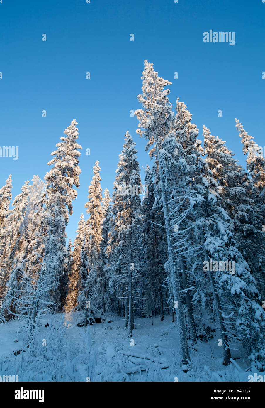 Finnish forest scenery at Winter (-25 C) , trees mainly spruces ( picea abies ) , Finland - Stock Image