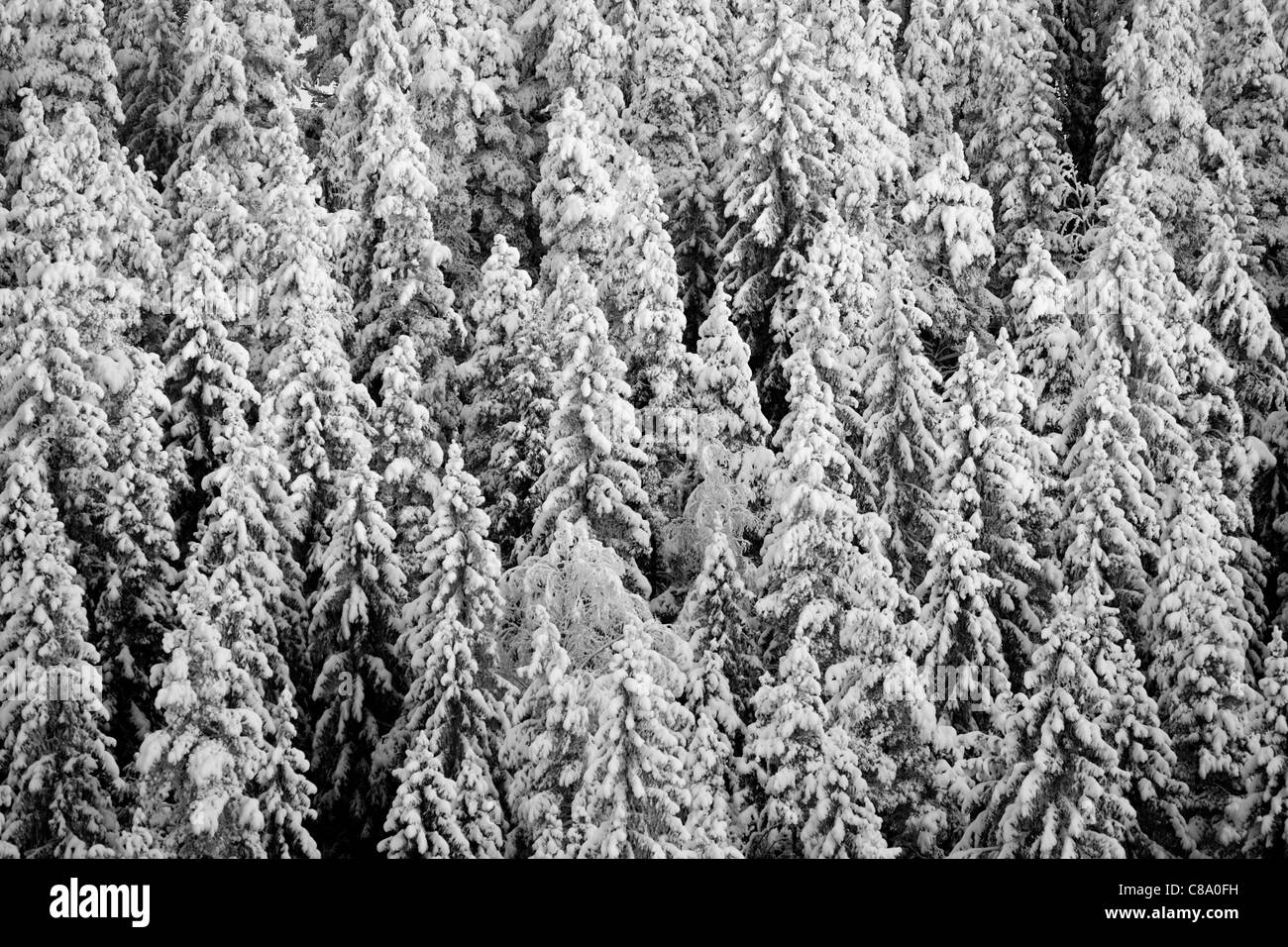 High angle view of dense boreal spruce ( picea abies ) forest at Winter (-25C) , Finland - Stock Image