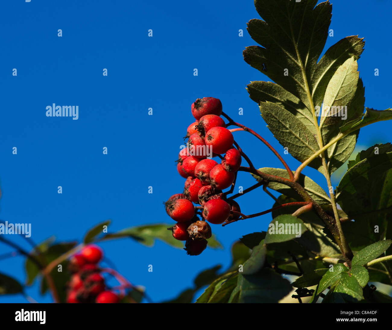 The hawthorn tree with sun lighted green leaves against a deep blue sky. Contrast of green, blue and red - Stock Image
