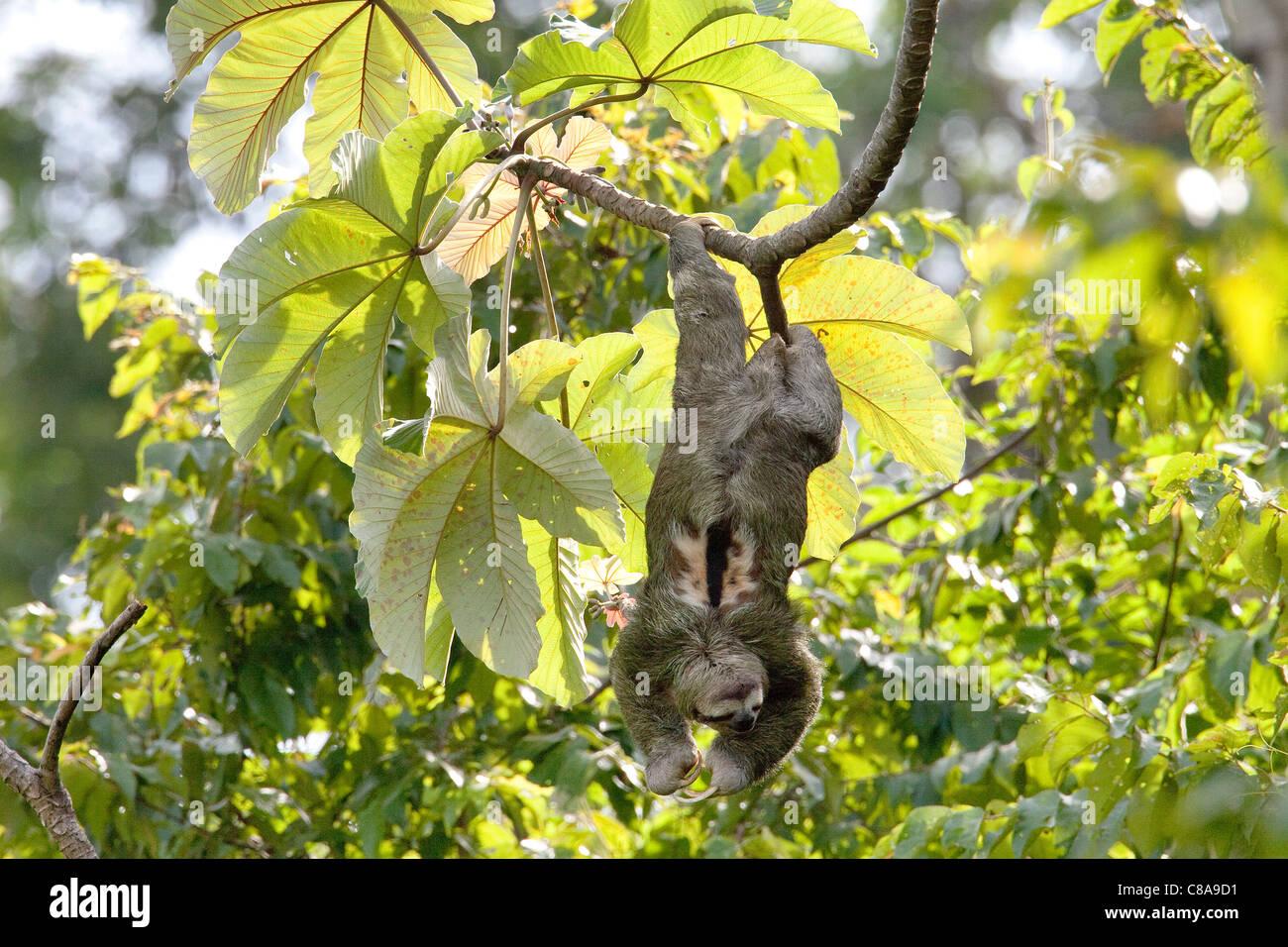 Three-toed Sloth, Costa Rica - Stock Image