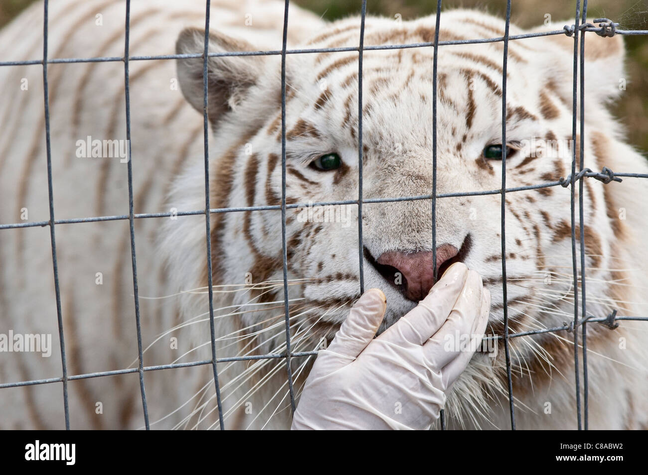 A white tiger taking a tidbit from his handler. - Stock Image