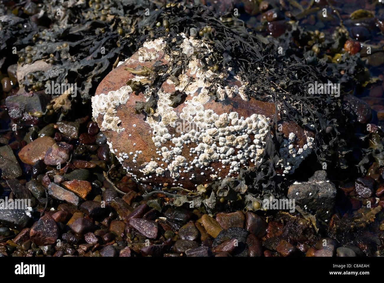 Common Limpets and Acorn Barnacles Rubha Ardnish Beach Breakish Broadford Isle of Skye Scotland Stock Photo