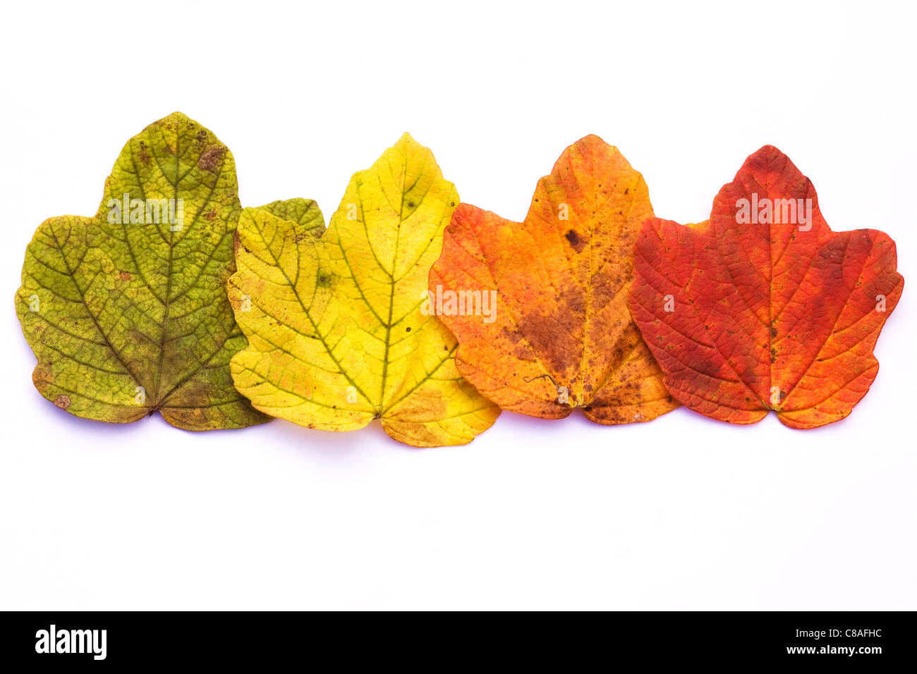 The changing colour of Autumn leaves isolated on a white background. - Stock Image