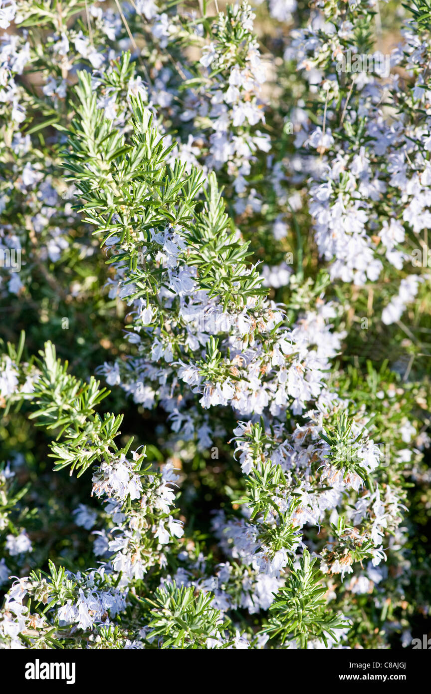 Rosemary - Stock Image