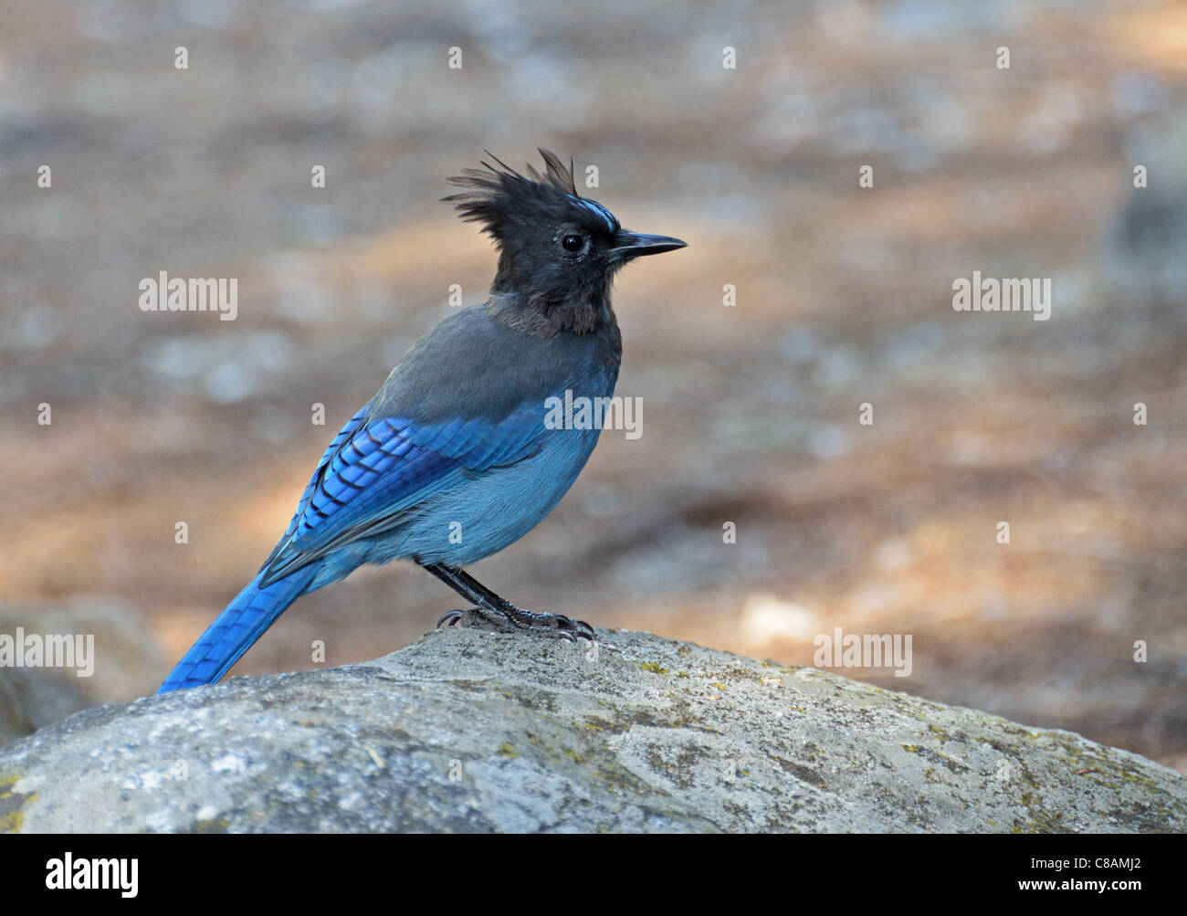 A stellar Jay on a rock in Kings Canyon California - Stock Image