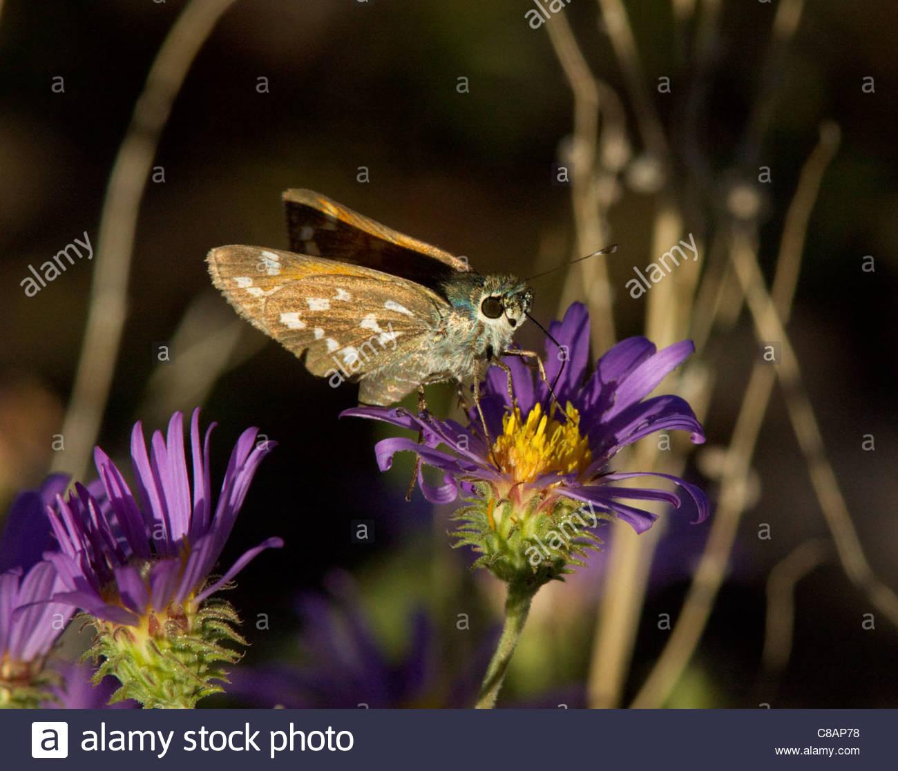 Apache Skipper Hesperia woodgatei Butterfly Arizona Stock Photo