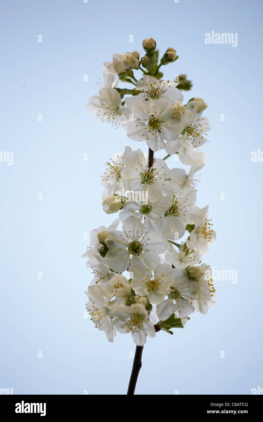 Cherry blossoms sprig - Stock Image