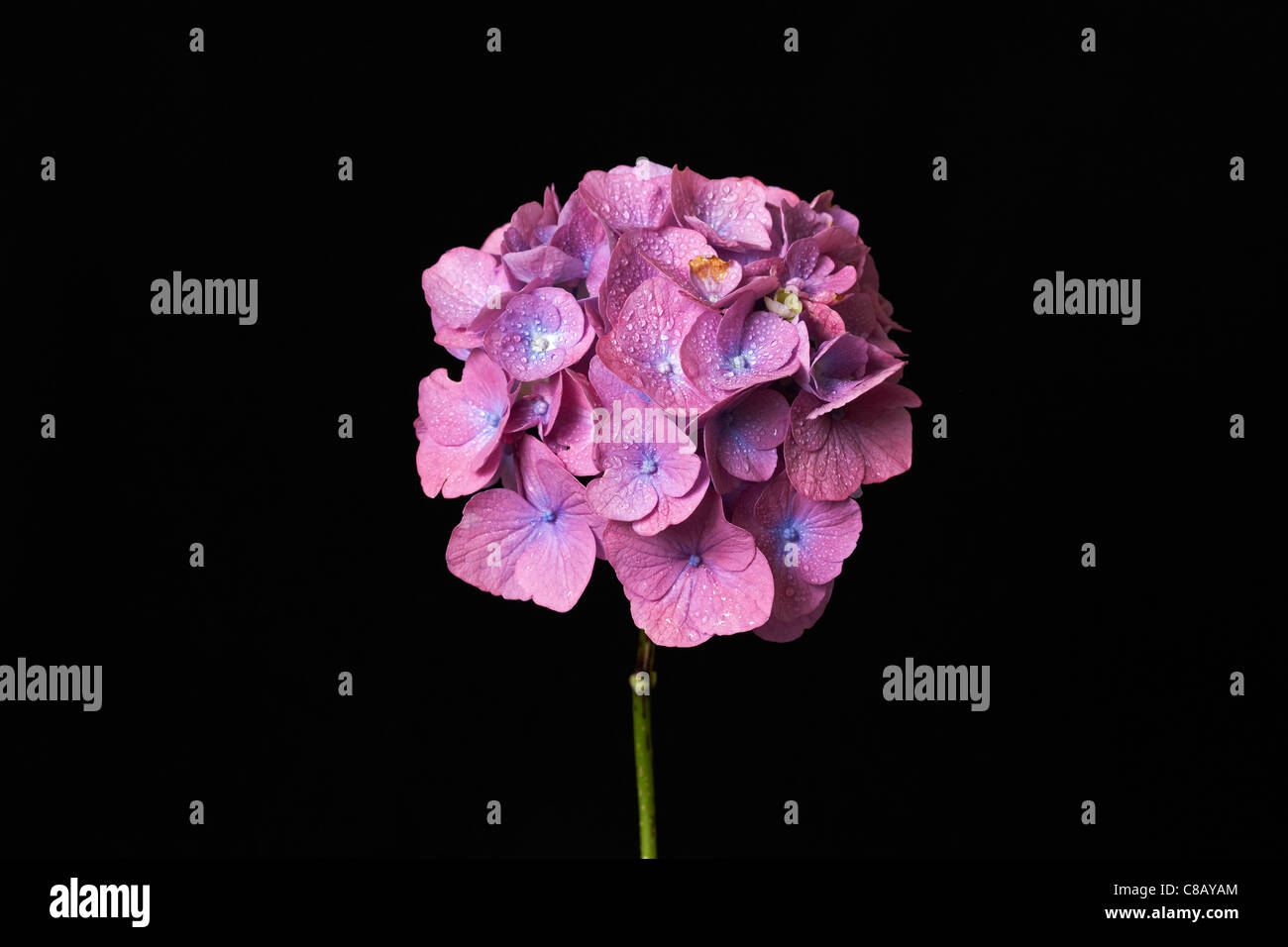 Hydrangea Flower  (Hydrangea macrophylla) with black background - Stock Image