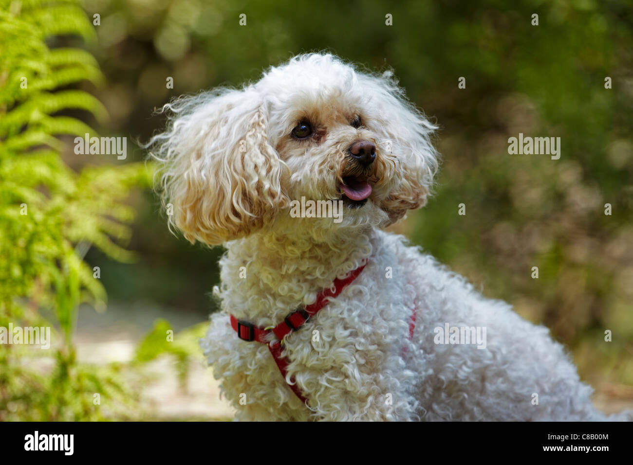 Toy Poodle in a Garden in Wales, UK Stock Photo