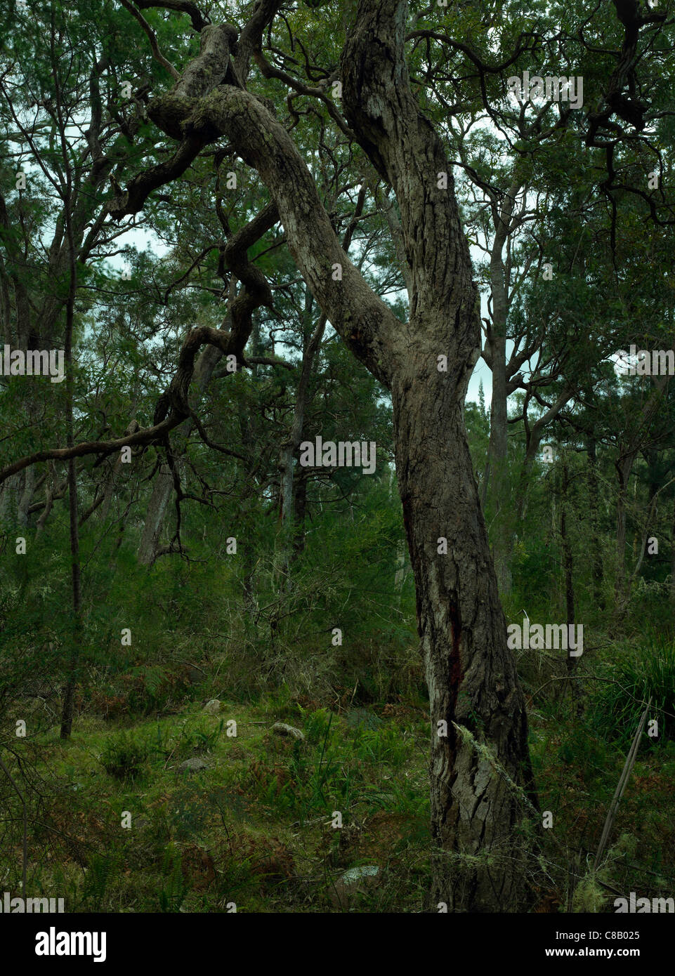 Eucalypt tree in Wadbilliga National Park, Nsw Australia - Stock Image