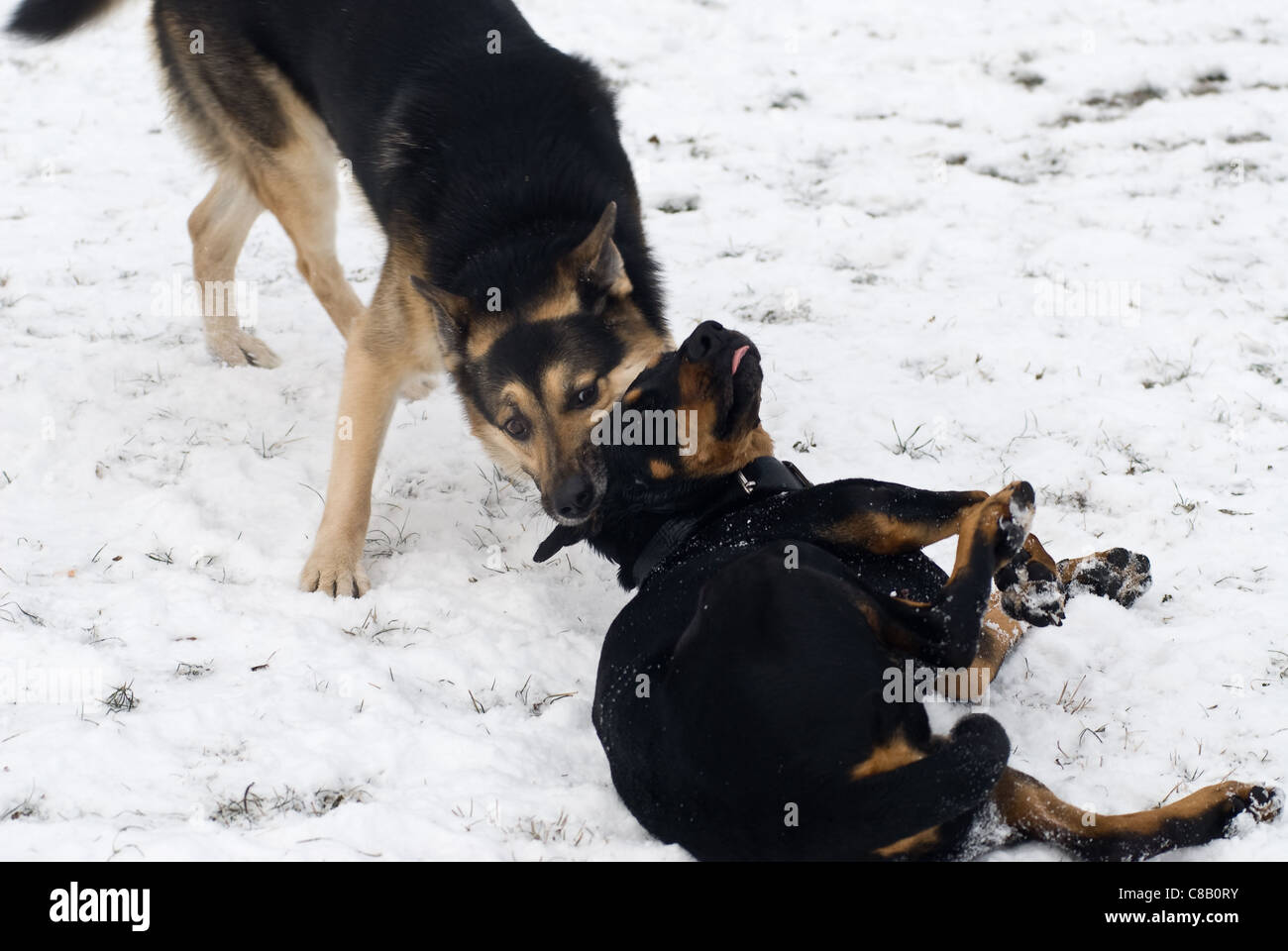 two dogs playing in the snow one is standing while the other one is lying - Stock Image