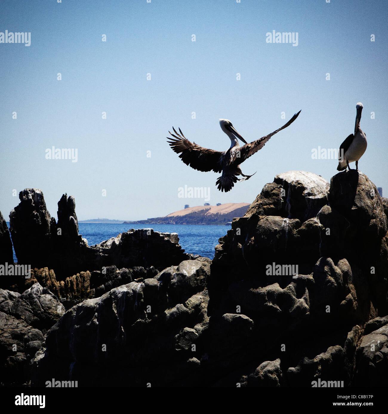 Pelican landing near Castillo Wulff in Viña Del Mar, Chile - Stock Image