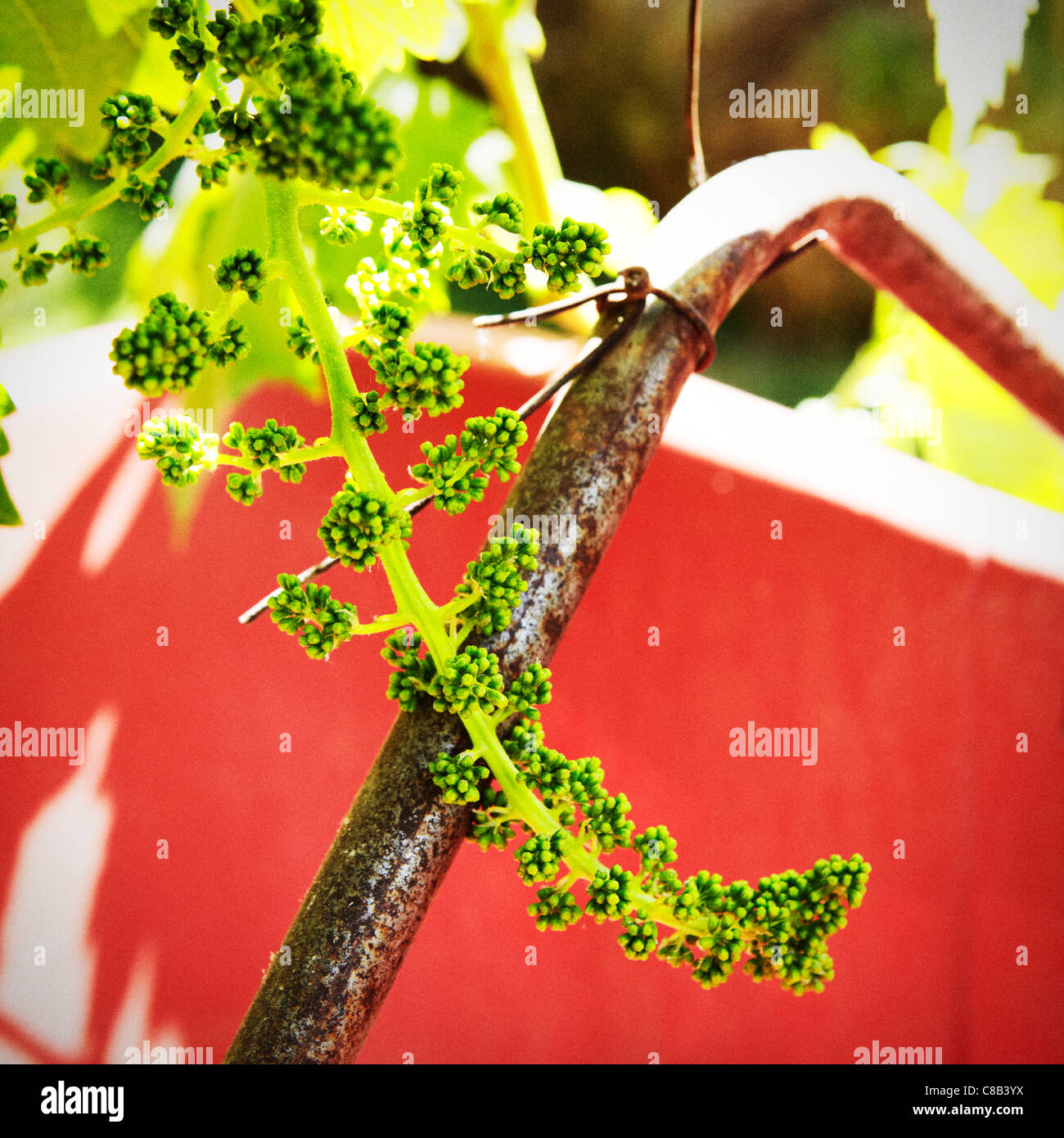 Grapes on a vine at a vineyard in Mendoza, Argentina. - Stock Image