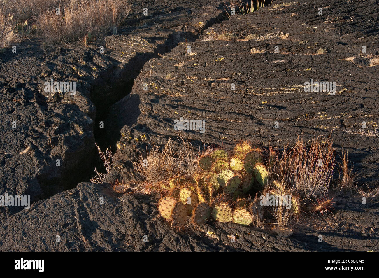 Prickly pear cactus in cracked pahoehoe lava field, Carrizozo Malpais lava flow at Valley of Fires, New Mexico, - Stock Image