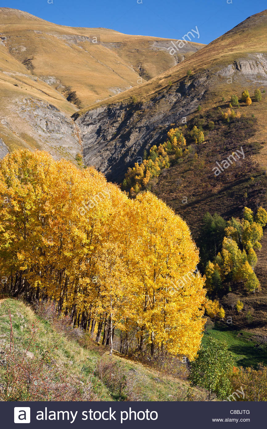 Birch trees in fall season at Besse en Oisans (France) - the name of the village 'Besse' meant birch in - Stock Image