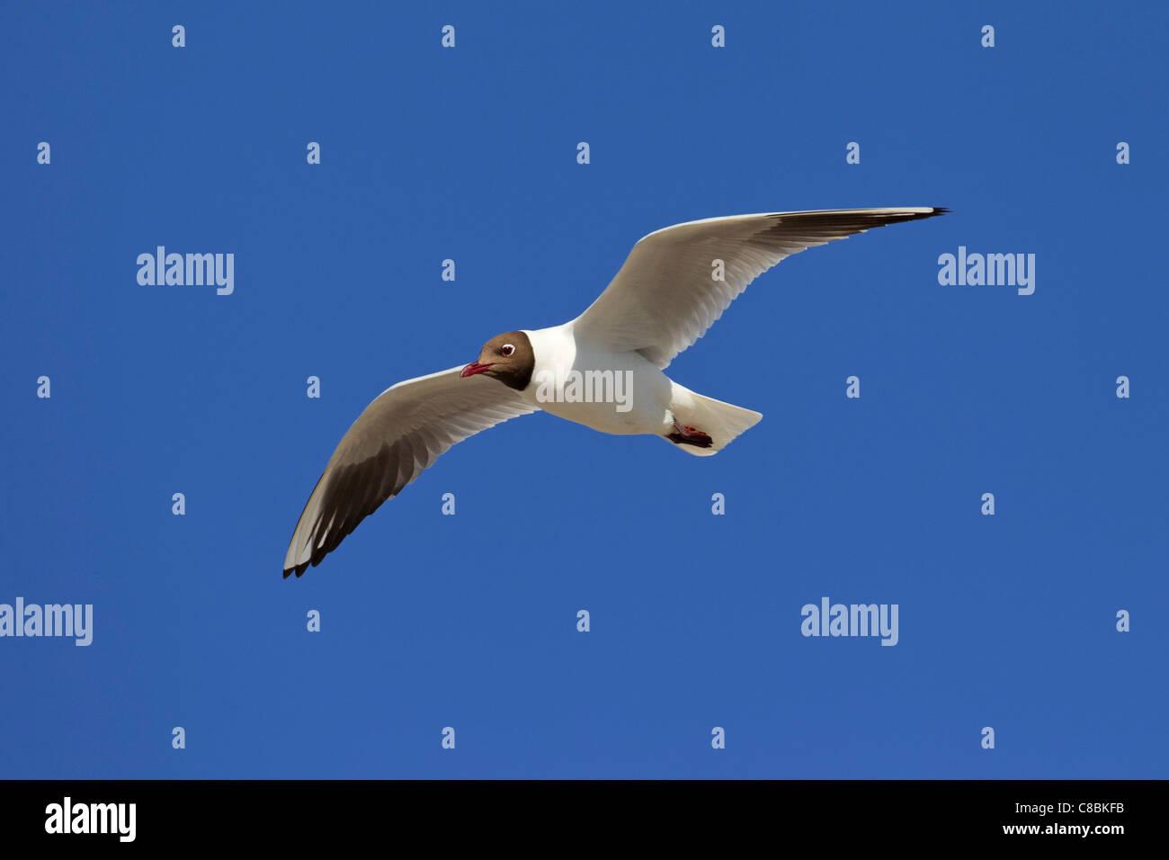 Black-headed gull (Chroicocephalus ridibundus / Larus ridibundus) in flight, Germany - Stock Image
