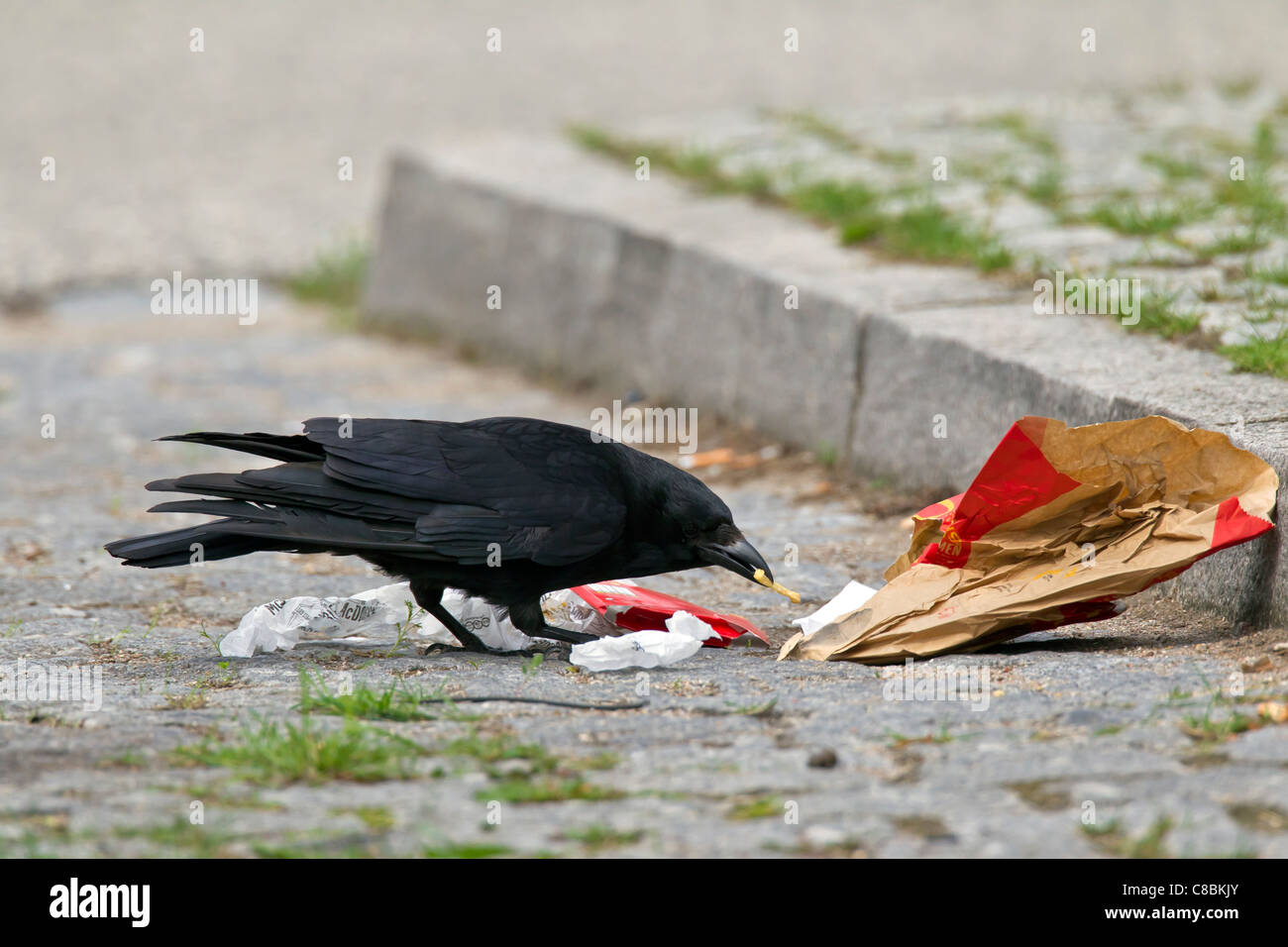 Carrion crow (Corvus corone) scavenging for food in garbage on street, Germany - Stock Image
