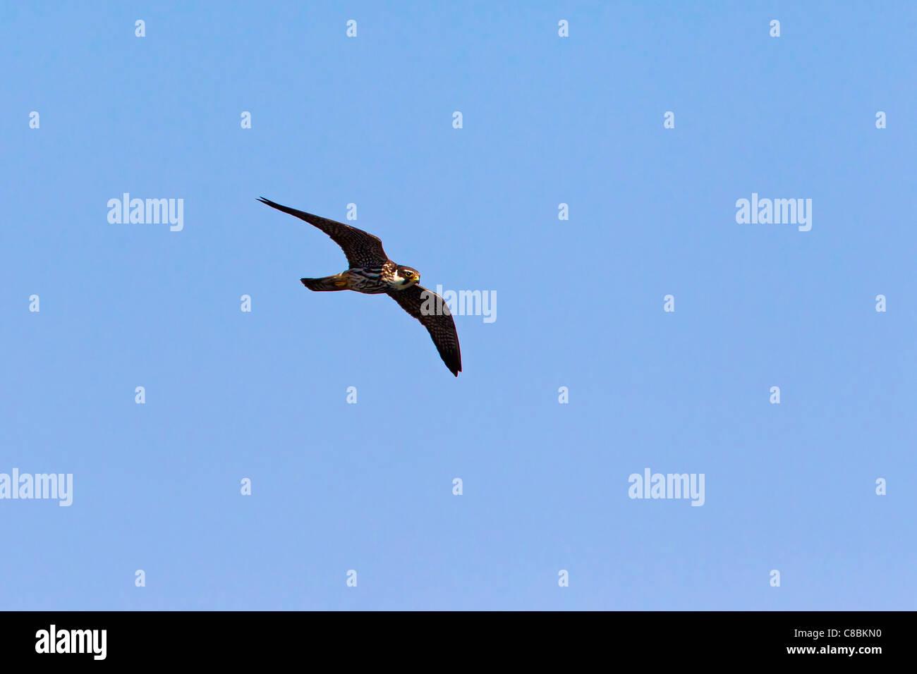 Eurasian Hobby (Falco subbuteo) in flight with caught dragonfly, Germany - Stock Image