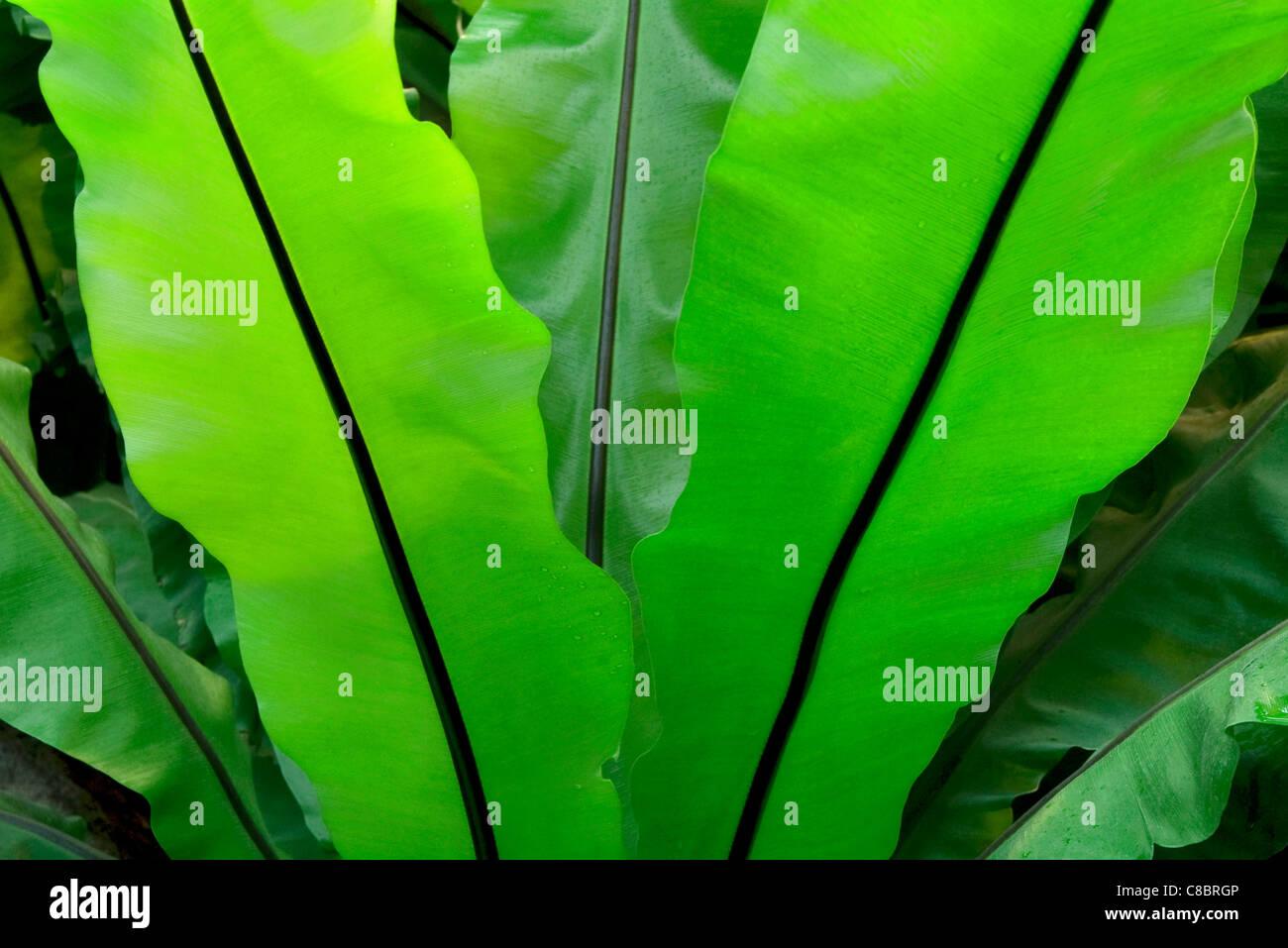 Broad leaf fern pictures Broadleaf