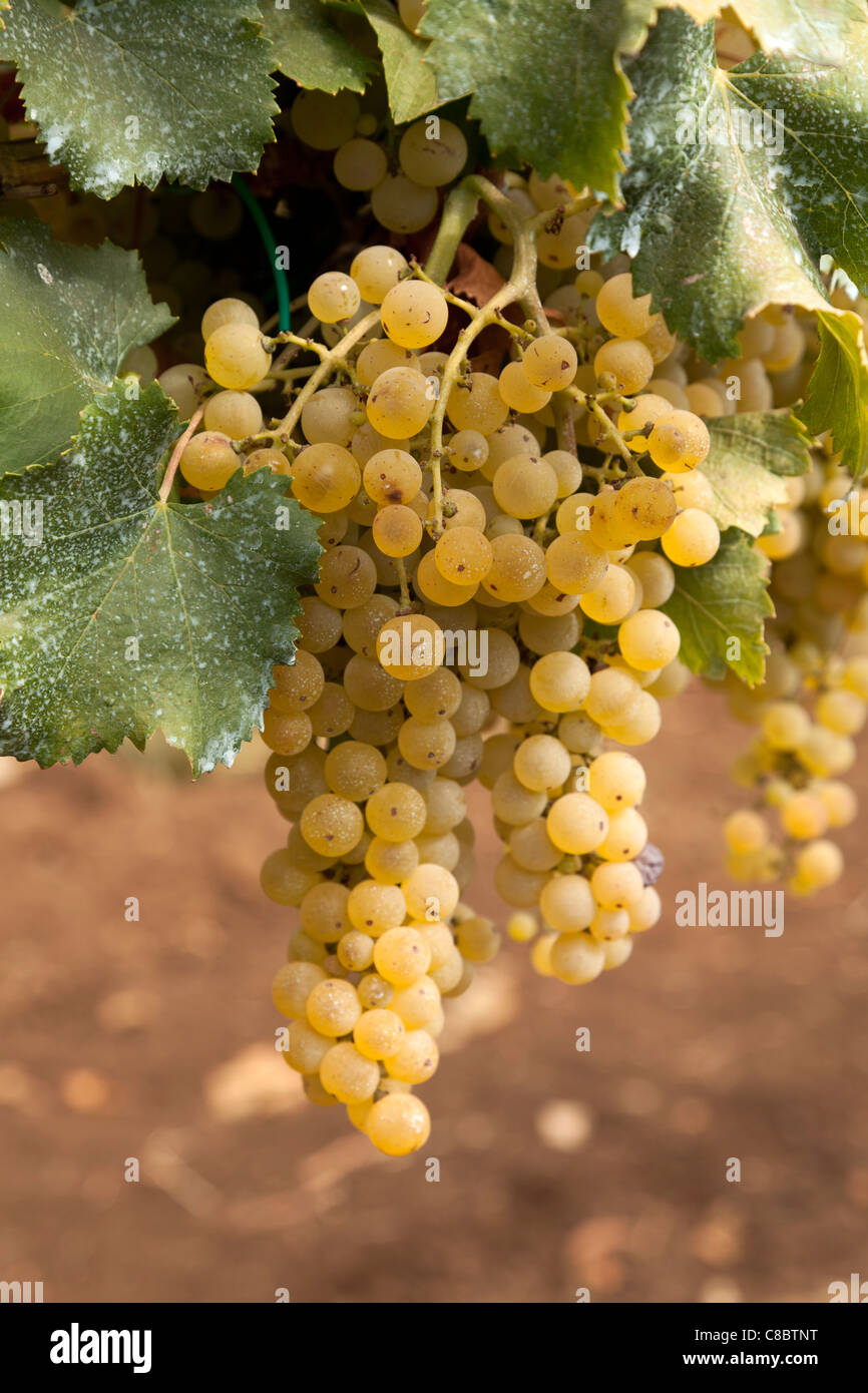 Close up of ripe Trebbiano wine grapes on the vine ready for harvesting. - Stock Image