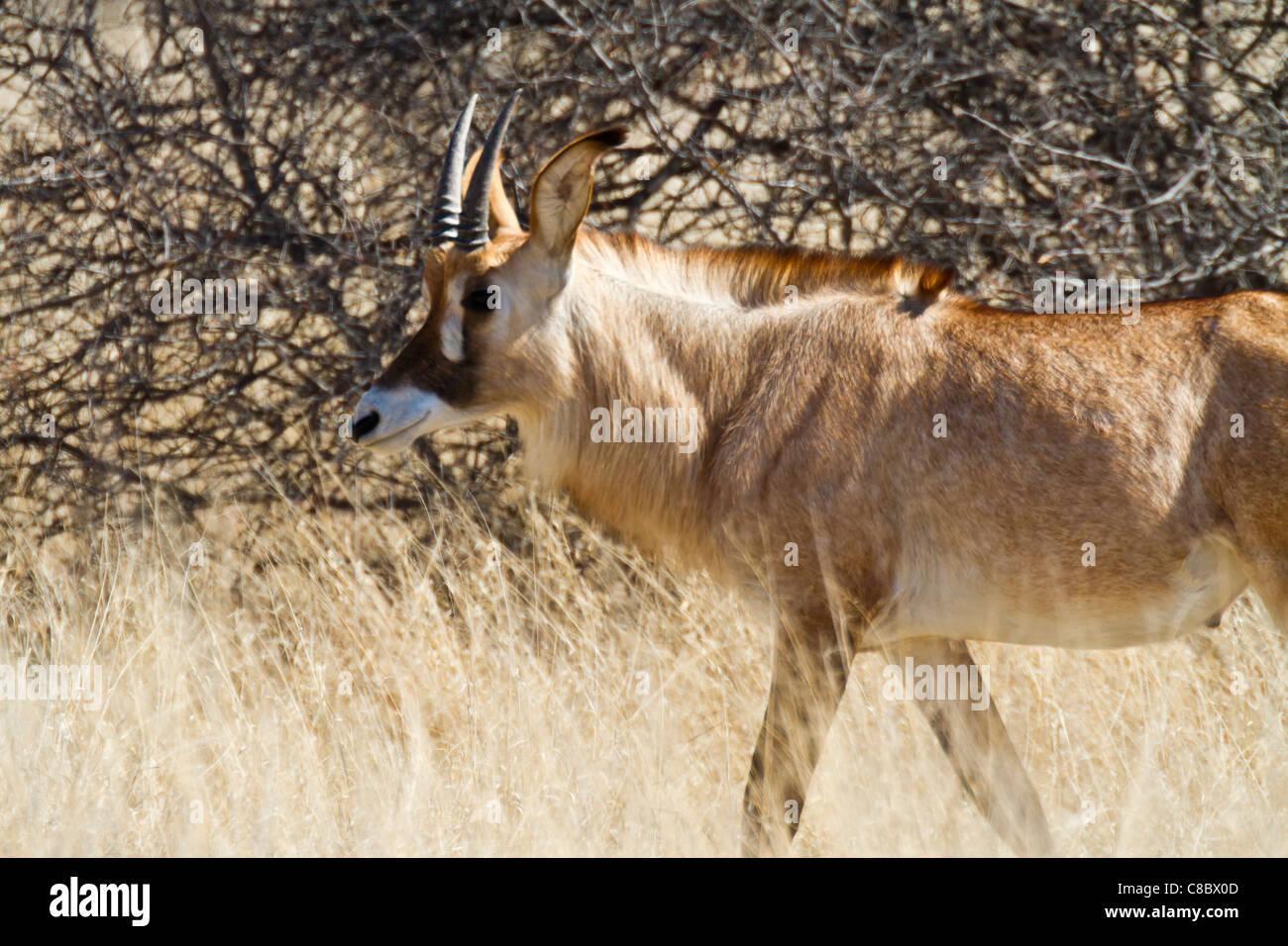Roan Antelope, Hwange National Park, Zimbabwe Stock Photo