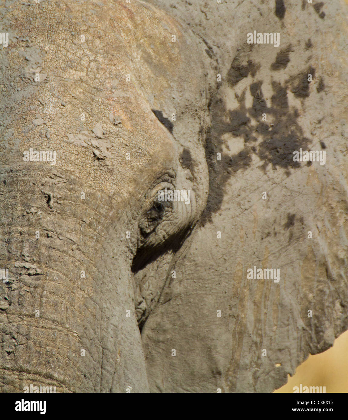 elephant close up, Hwange National Park, Zimbabwe Stock Photo