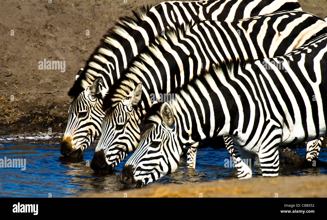 Zebras drinking at the waterhole in Hwange National Park, Zimbabwe - Stock Image