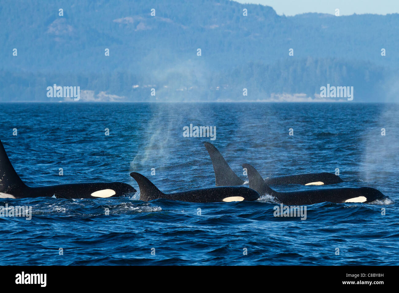 A pod of orcas(killer whales) in the Salish Sea - Stock Image