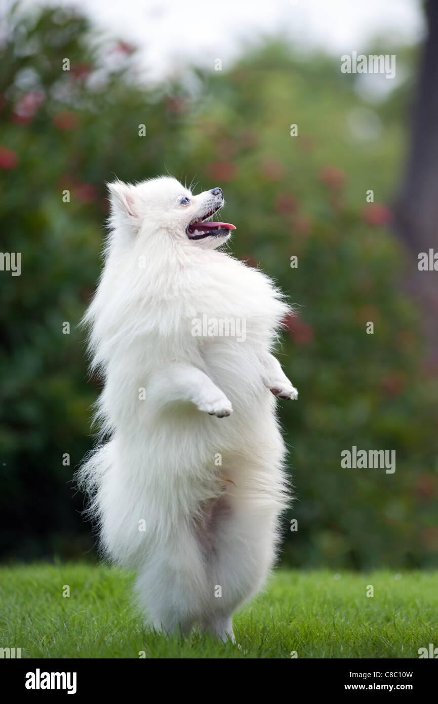 White Pomeranian Dog Standing On Hind Legs Stock Photo 39602217 Alamy