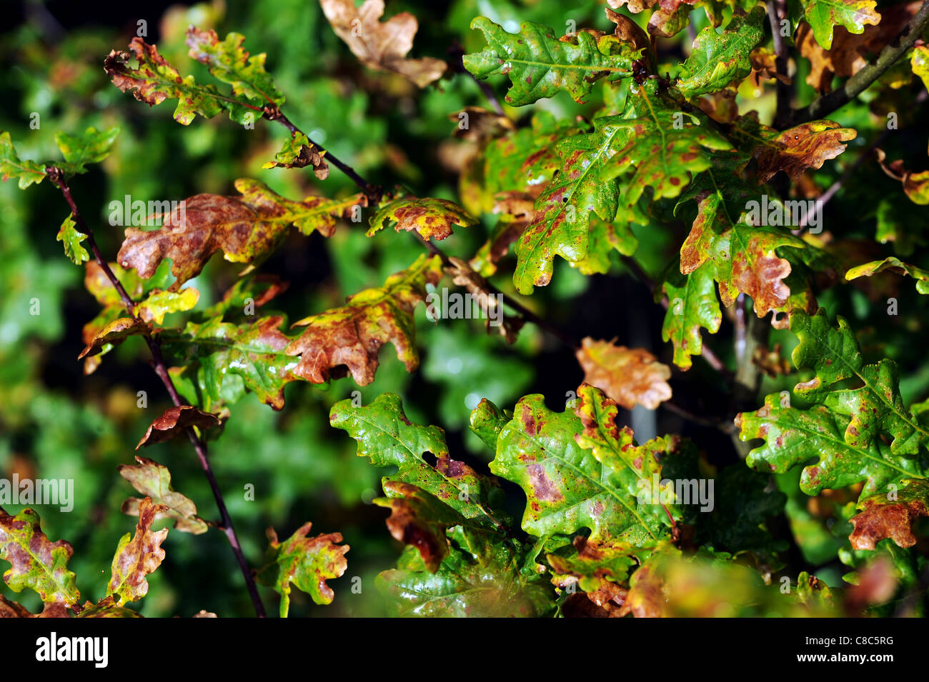 Autumn leaves and conkers at Leverhulme Park, Bolton, Lancashire, England. Picture by Paul Heyes, Tuesday October - Stock Image
